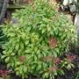 Pieris japonica 'Mountain Fire'  Evergreen shrub