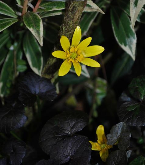 Ranunculous Brazen Hussy.... (Ranunculus ficaria (Blameye) Brazen Hussy)