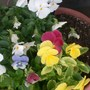 The pansies are recuperating, now you can see that some maroon ones also survived the freeze.