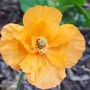 Meconopsis cambrica (Double Welsh Poppy)