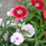 Dianthus - close-up.