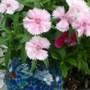 "Dianthus ""Telstar pink""."