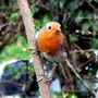Robin in the frontgarden