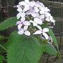 Lunaria rediviva - 2011 (Lunaria rediviva)