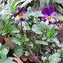 Heartsease (Viola tricolor (Heartsease))