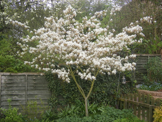 My favourite tree (Amelanchia)