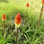 Group of Kniphofia in lower garden (Kniphofia uvaria (Red Hot Poker))