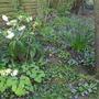 Hellebores and violets