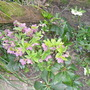 Hellebores under the fruit trees