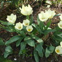 Tulipa fosteriana &#x27;Purissima&#x27; (White Emperor)  (Tulipa Fosteriana &#x27;White Emperor&#x27; &#x27;Purissima&#x27; Tulip)