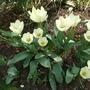 Tulipa fosteriana 'Purissima' (White Emperor)  (Tulipa Fosteriana 'White Emperor' 'Purissima' Tulip)