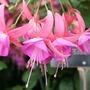 Fuchsia 'Lady Isobel Barnett'