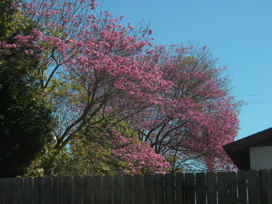 Tabebuia impetiginosa - Pink Ipê Tree Flowers (Tabebuia impetiginosa - Pink Ipê Tree)