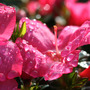 Azalea, after the rain (Azalea)
