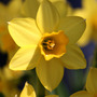 "Dwarf Daffodil - ""Tete a Tete"" (close up) (Narcissus)"