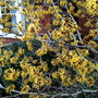Witch hazel (Hamamelis)