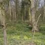 Brumby woods celandine in flower
