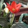 Tulip - Full