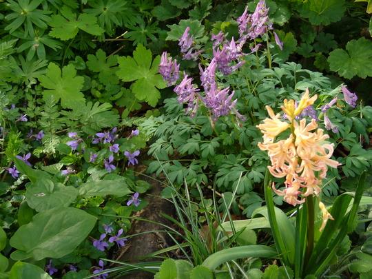 a nice mingle (Hyacinthus orientalis (Hyacinth))