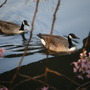 Ducks drift by a Cherry blossom tree....