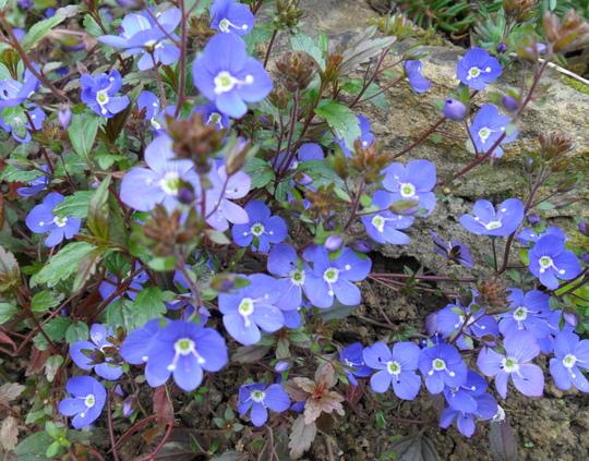 Veronica peduncularis 'Georgia Blue' (Veronica peduncularis 'Georgia Blue')
