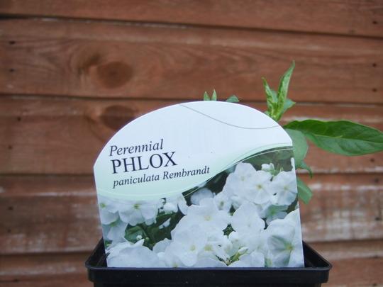 Perennial Phlox (white) (Paniculata Rembrandt)
