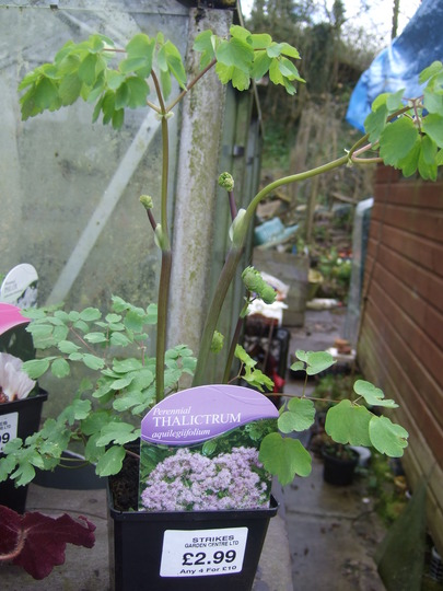 Lilacy thing (Medow Rue) (Thalictrum delavayi (Meadow rue))