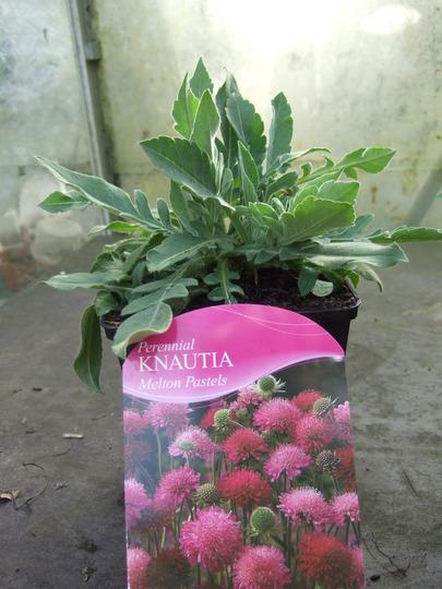 Knautia: Melton Pastels (Knautia macedonica (Knautia))