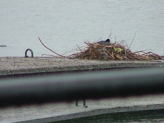 coot nesting on boat moorings at riversway preston