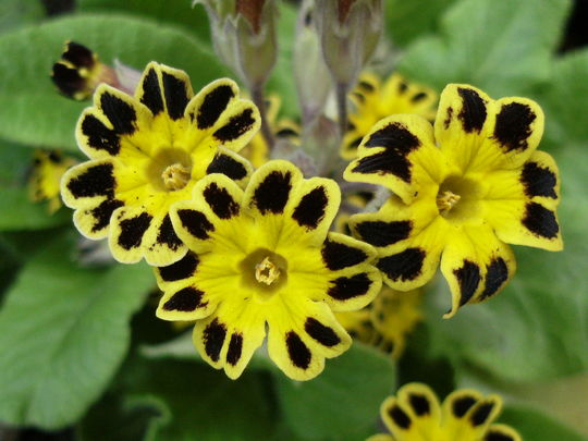 Primula   ' Gold Lace '