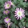 Anemone_blanda_pink_form_2011