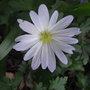 Anemone_blanda_white_form_2011