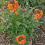 Erysimum Apricot Delight (Erysimum Apricot Delight)