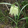  Fritillaria meleagris (snakes head) (Fritillaria meleagris (Snake&#x27;s Head Fritillary,)