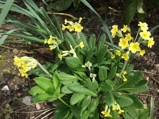 COWSLIP (PRIMULA VERIS) (Primula veris (Cowslip))