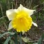 Narcissus_magnet