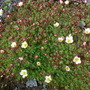 Saxifraga white pixie (Saxifraga	&#x27;White Pixie&#x27;)