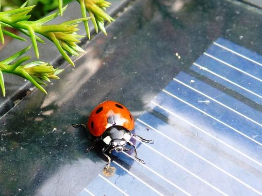 Solar powered ladybird