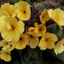 That lovely bronze-leaved primula again!