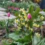 """Erythronium Pagoda pink tulips (Erythronium japonicum """"Pagoda"""")"""