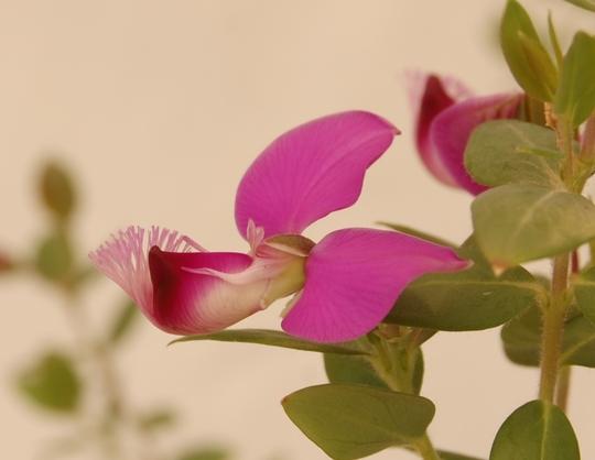 Polygala myrtifolia (Polygala Myrtifolia)
