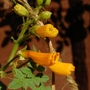 Chilean Glory Flower (Eccremocarpus scaber (Chilean glory flower))
