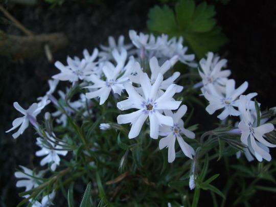 Phlox subulata 'Frohnleiten' (Phlox subulata (Moss Phlox))