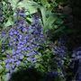 BLUE BUGLE PLANT