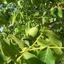 Appletree2