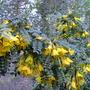 Sophora sun king (Sophora sun king)
