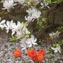 tulips in magnolia snow