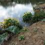 Rheum & Caltha palustris, Primulas