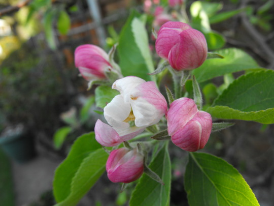 """""""I'll be with you, in Apple Blossom Time...."""""""