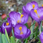 Late flowering crocus (crocus)